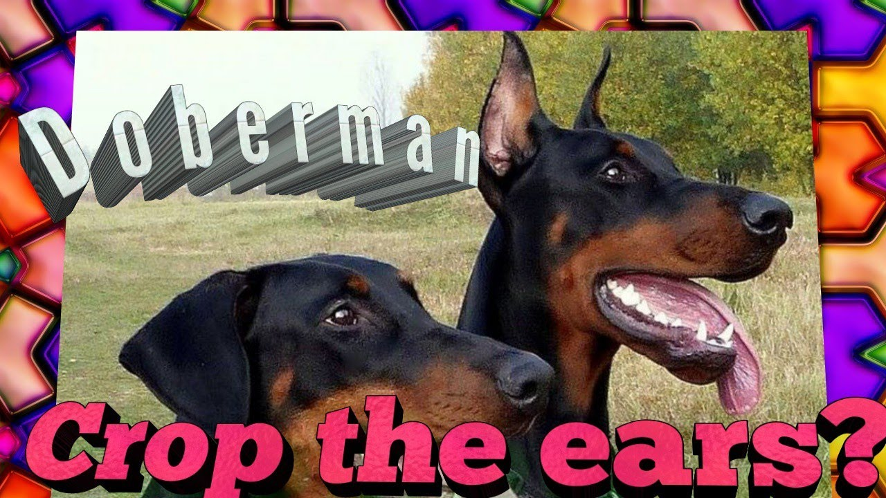 Doberman Cropped And Docked Or Not Ears And Tail Crop And Dock Talk