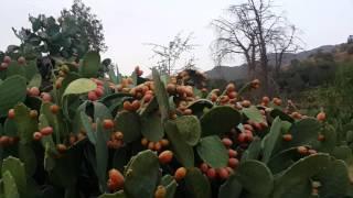 Taif Al shifa barshomi fruit