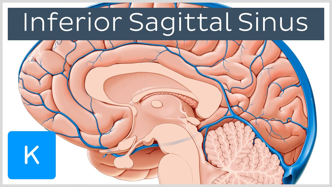 Inferior sagittal sinus - Human Anatomy | Kenhub - YouTube