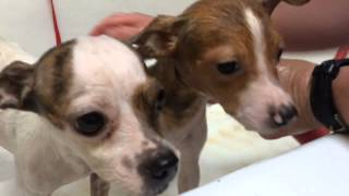Watch Huntsville Animal Services Bathe 20 Dogs Rescued In Hoarding Case