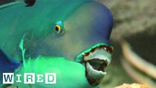 Absurd Creatures | This Fish Makes Beach Sand!