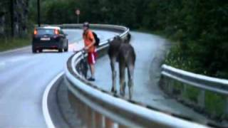 Two moose meets cyclist