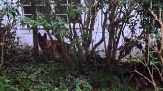 German Shepherds Barking