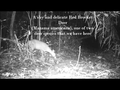 Camera Trapping in the Peruvian Amazon 8 Species Tapir Ocelot Peccary Agouti Paca Deer