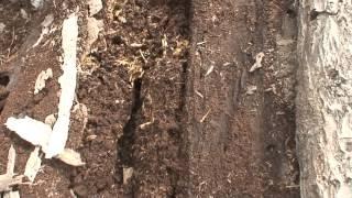 畑の隅に積んだ朽ちた木材にカブト虫の幼虫がいて採取しました。