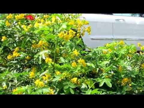 Александрийский лист - применение и полезные свойства