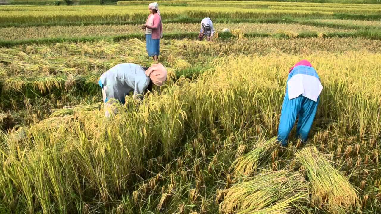 Rice Field In Jhapa, Nepalmp4  Doovi-7005
