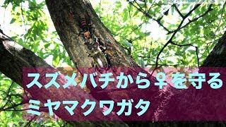 オオスズメバチから♀を守るミヤマクワガタ Miyama Stag beetle thumbnail