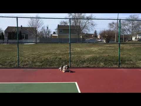 Australian shepherd puppy learns basic obedience training