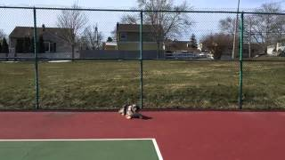 Australian Shepherd Puppy Learns Basic Obedience Training