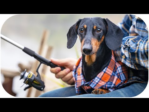 We'll be together forever! Cute & funny dachshund dog video!