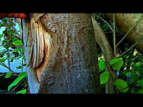 Phasmatodea - stick insect, walking sticks or stick-bugs