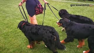 Psie piękności na wystawie w Gorzowie Wielkopolskim