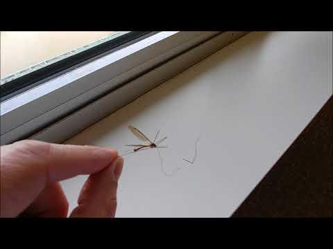 super duper big mosquito | crane fly