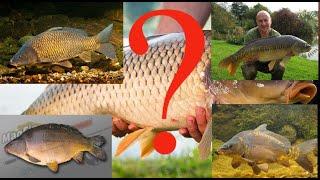 Какие виды карпа бывают. 5 основных видов самой популярной рыбы.