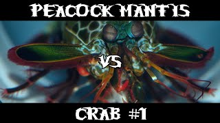 Peacock Mantis VS Crab #1