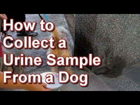 How to Collect a Urine Sample From a Dog - Tai Wai Small Animal ...