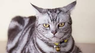 American Shorthair  Cat Breed  Pet Friend