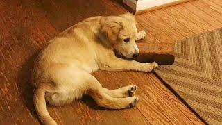 Эта собака с детства обожает кирпич