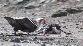 Pengueni Canlı Canlı Yiyen Kuş