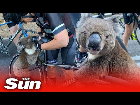 Koala begs cyclists for water in Australia heat as bushfires kill 30 per cent of the species
