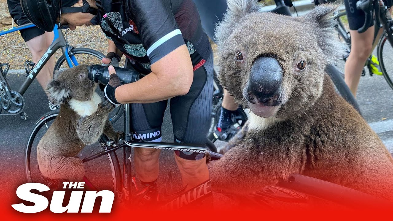 Australia Wildfires Killing 30% Of Koala Bears