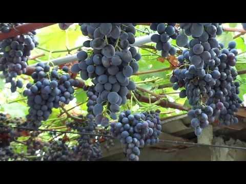 """Сорт """"Кубань"""" - лучший виноград 2016 г."""