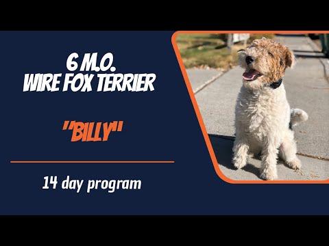 WIRE FOX TERRIER / DOG TRAINING