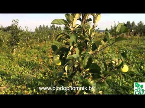 Яблоня сорт Конфетное / Ранние летние сорта яблонь