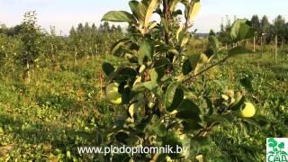 видео Летние сорта яблонь (яблок)