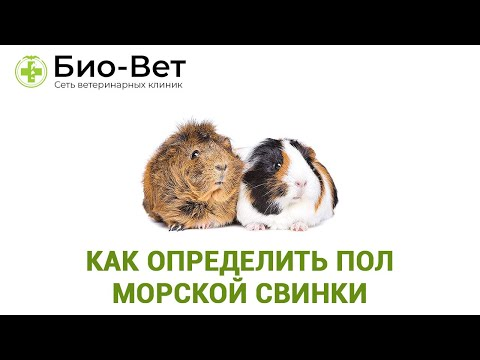 Как определить пол морской свинки