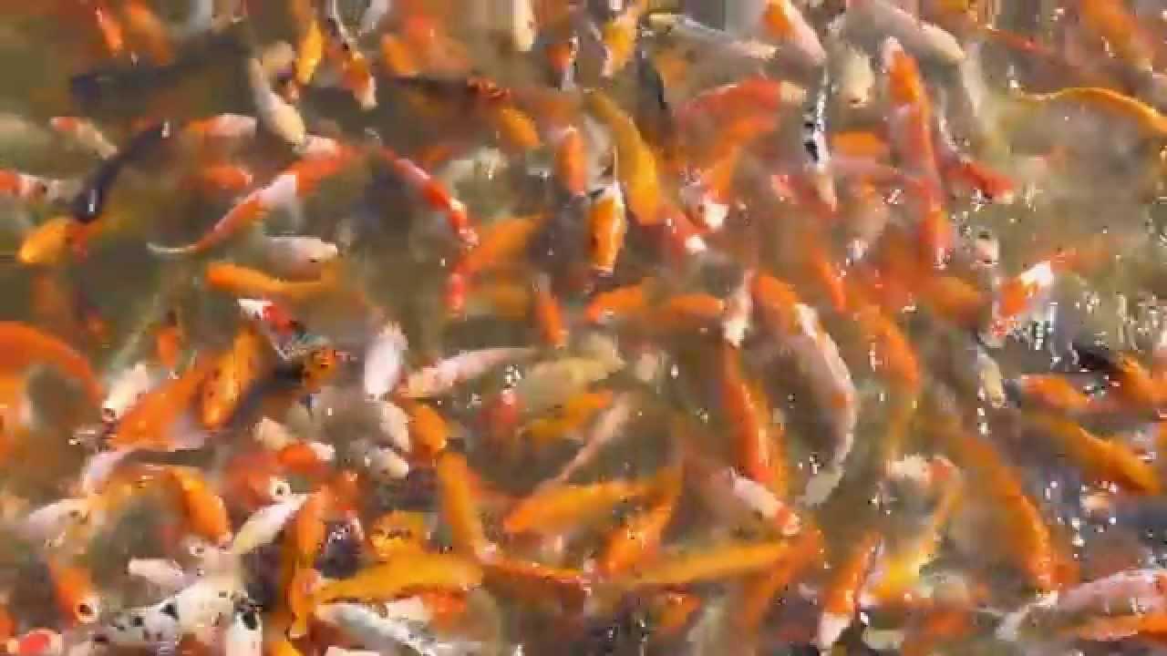 Koi Fish Feeding Frenzy China Youtube