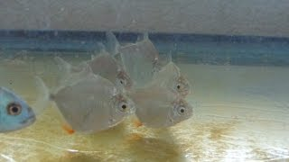 [HD] Silver dollar fish juvies eating in quarantine. *Info on care provided on description*