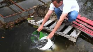 Stocking Catfish In The Pond.wmv