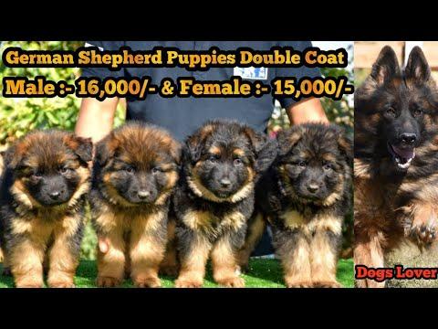 price   German Shepherds