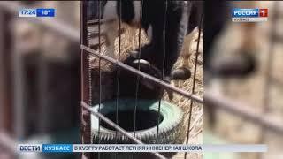 Видео годовалый бык из Кузбасса показывает цирковые трюки