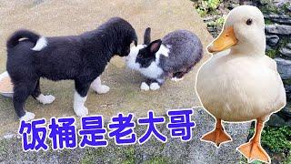 这狗子彻底被兔子征服了一碰面就被踹战斗力不行啊丨天下一场梦