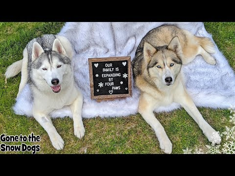 Husky Puppy NEWS | Puppy Gender Reveal