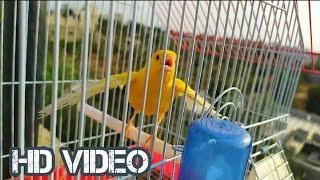 غناء إسطوري لتحفيز الفراخ والذكور الخاملة على التغريد والصفير canary bird hot sunging