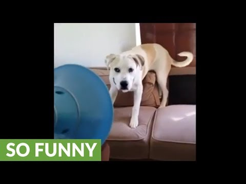 Funny pup really hates owner's fart gun toy