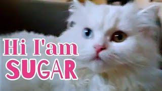 Turkish Angora Cat   Rare Cat   Sugar