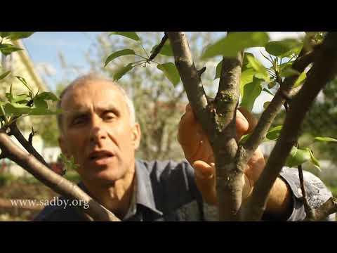Особенности плодового дерева. Урок 2 Нового курса по обрезке деревьев. ©