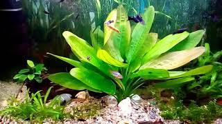 Разведение Моллинезий в общем аквариуме.