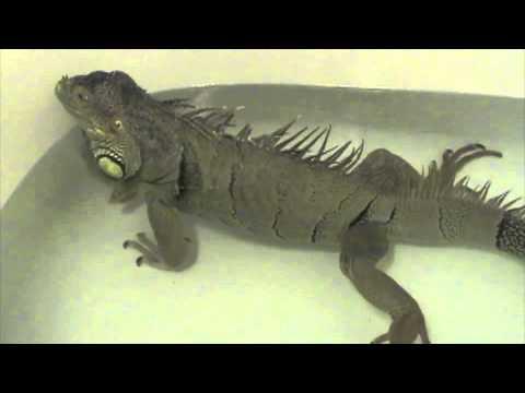 Iguana Fart