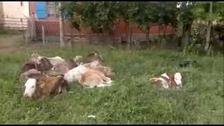 Sivas Hafik Tavşanlı Köyü Hayrettin Temur& 39 un Buzağları