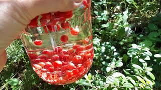 Заготовки из брусники. Брусничная вода - польза для вас и ваших детей!
