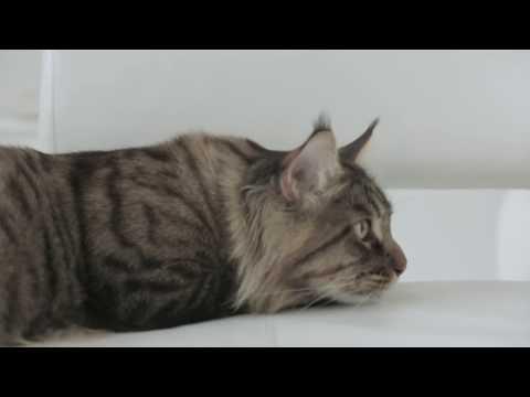 The Maine Coon | Royal Canin Feline Breed Nutrition