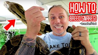 snake-breeding-how-to-guide-brian-barczyk