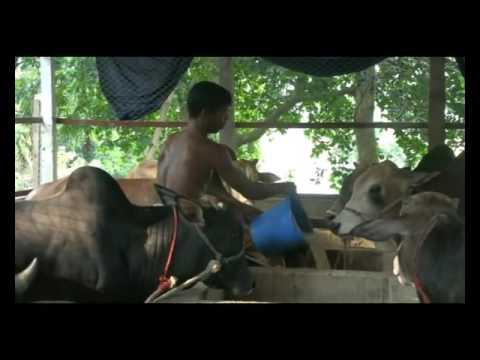 Tangail Cow Footage 1