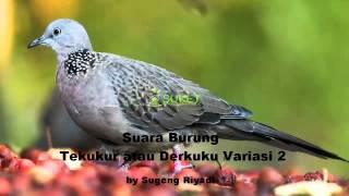 Suara Burung Tekukur Derkuku Variasi